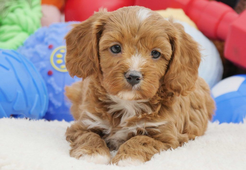 Miniature Cavoodle Puppies For Sale Chevromist Kennels Puppies Australia Puppies For Sale Puppies For Sale Australia Cute Dogs