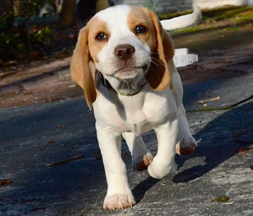 I M Not A Big Beagle Person But This One Is So Cute Beagle
