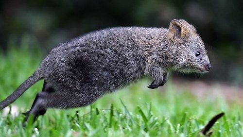 Jump of the quokka! (OZ) | Quokka, Happy animals, Quokka animal