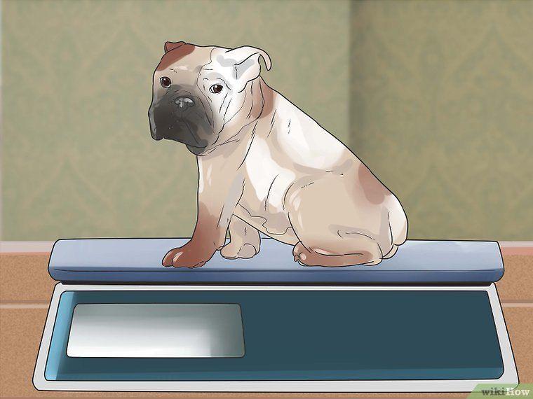 Take Care Of An English Bulldog Puppy English Bulldog Dog