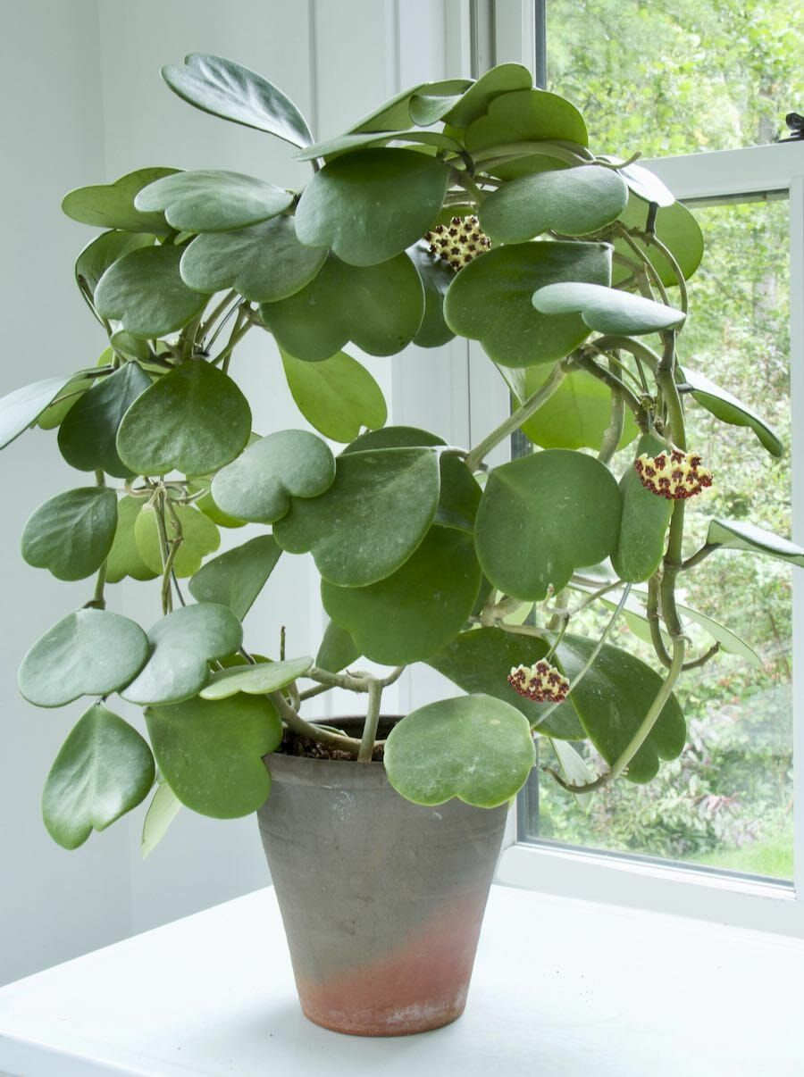 finding refuge in our gardens, and hope in a hoya,