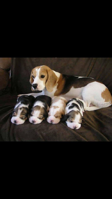 Mommy love | Beagles da Bomb | Pinterest