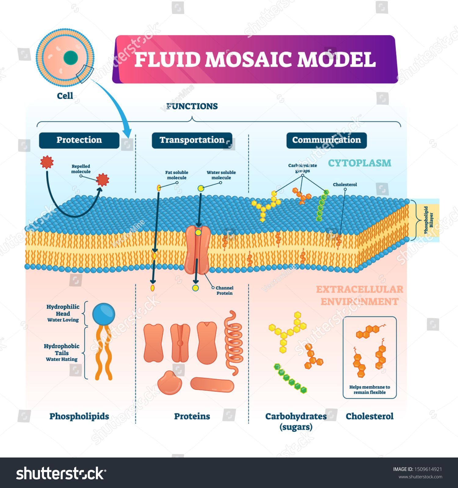 Fluid Mosaic Model Vector Illustration Labeled Cell Membrane Structure Infographic Educational Sche Cell Membrane Structure Membrane Structure Cell Structure [ 1600 x 1500 Pixel ]