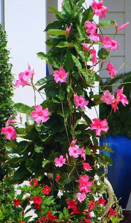 Growing Mandevilla: Mandevilla. Tropical Vine Plant That Loves Full Sun And