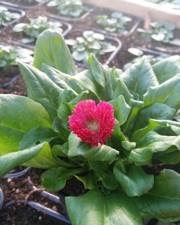 Nu växer det så det knakar i våra växthus. Gillar du också Bellis vackra blommor? #lillahultsblommor #gjordmedkärlek #bellis