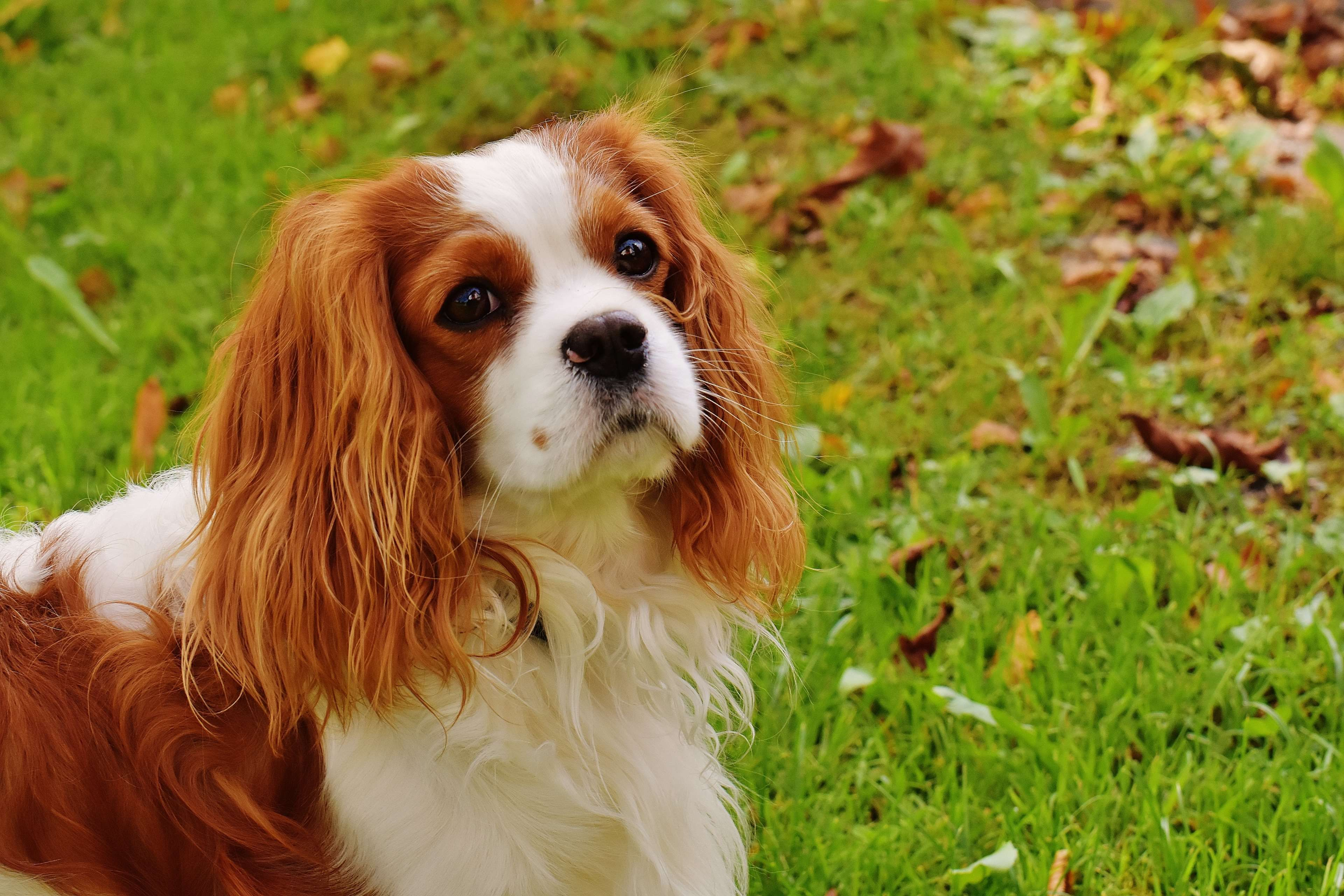 Popular Spaniel Canine Adorable Dog - 7e906a59a7279f83fc57c24ec7ee3346  You Should Have_973559  .jpg
