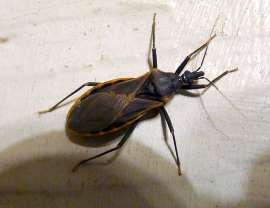Kissing Bug Disease More Deadly Than Thought Kiss Bug Bugs