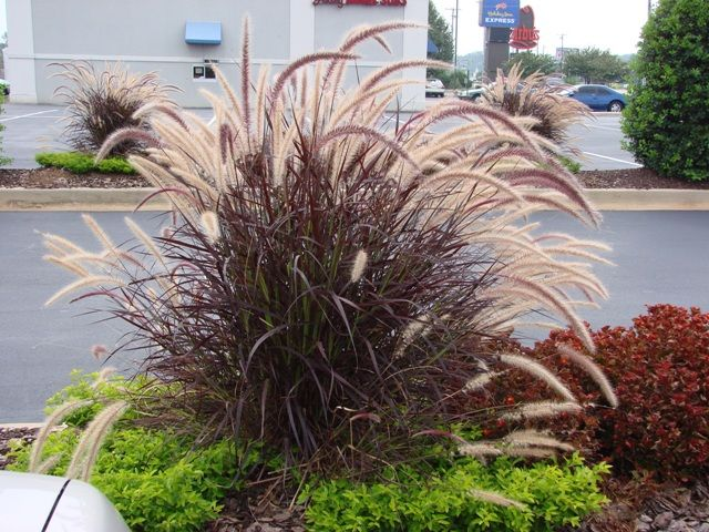 Purple fountain grass don 39 t sing the purple fountain for Purple grasses for landscaping