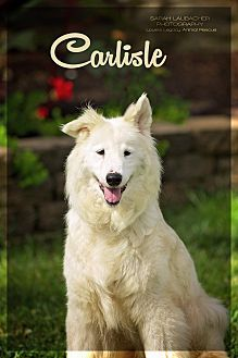 Australian Shepherd Siberian Husky Mix Dog For Adoption In