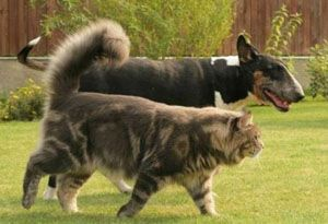 maine coon with a dogGoogle Images....See how big this