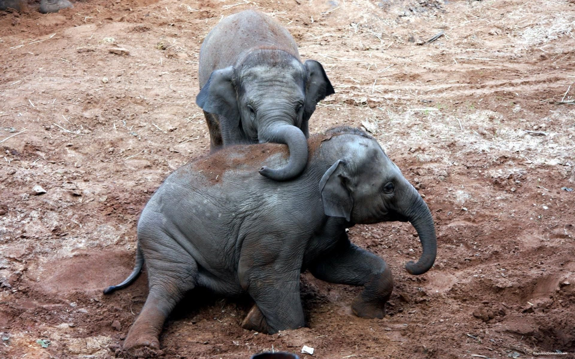 Beautiful African Elephants Taking A Mud Bath Download Image Pictures Wallpaper