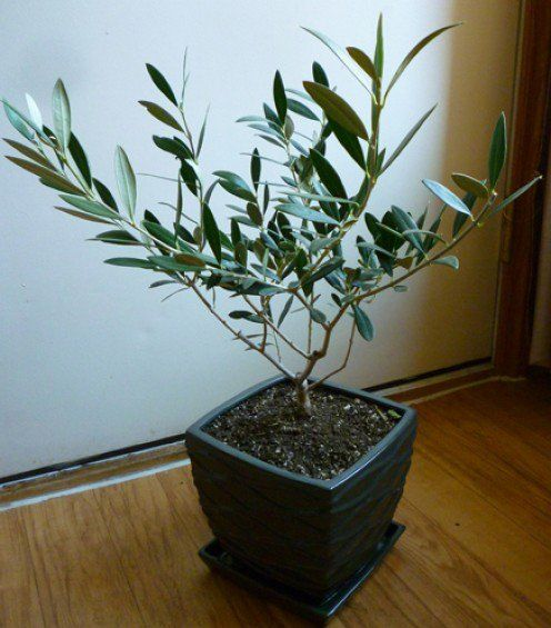 Growing Olive Trees In Containers Indoor Olive Tree Potted Olive Tree Olive Plant