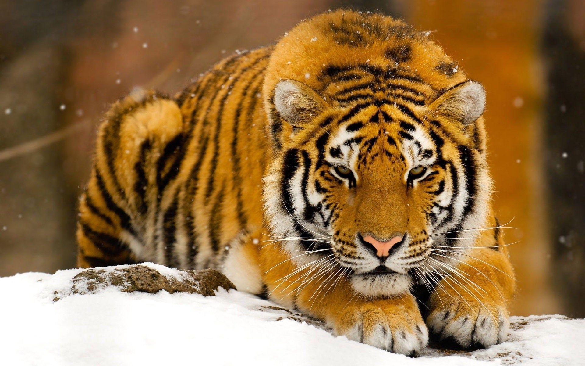 Tiger Desktop Wallpaper Hd Pics