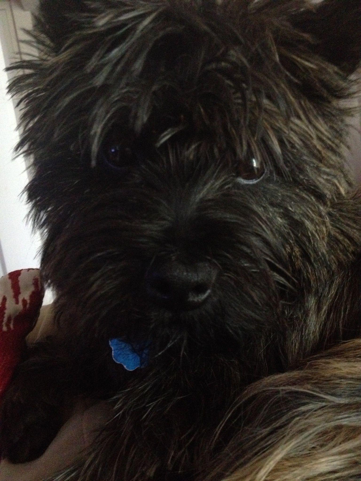 Kipper Did I Hear Walk Cairns Pinterest Cairn Terrier