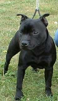 dd1b67f1257 Black English Staffordshire Bull Terrier (Staffy) Puppy