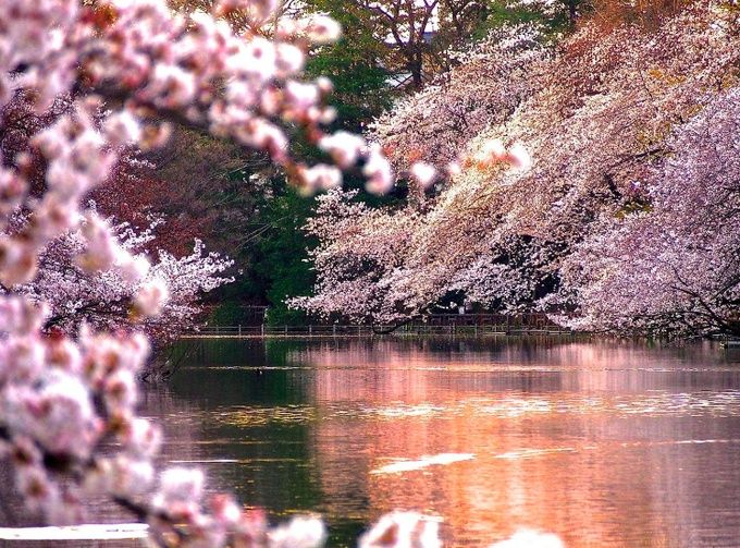 Top 10 Awesome Cherry Blossom Viewing Spots Around Tokyo -9311