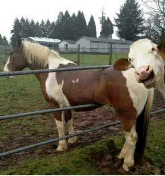 Cow ridicule