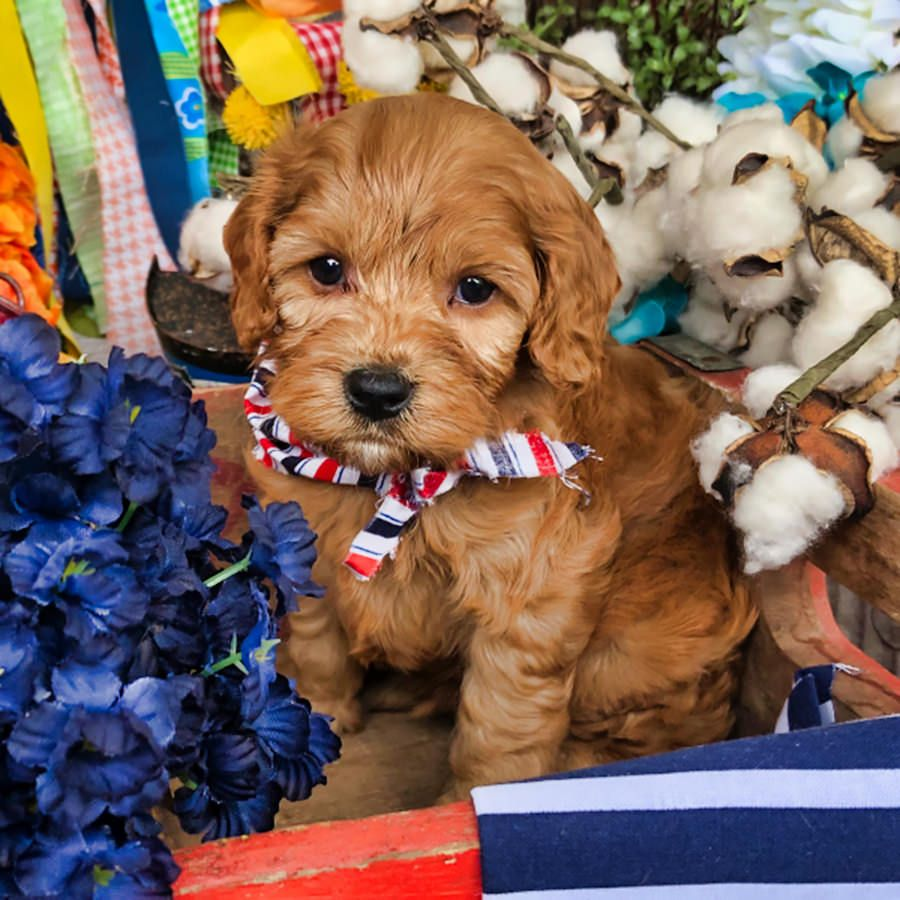 Cavapoos R Us Just another WordPress site Cavapoo