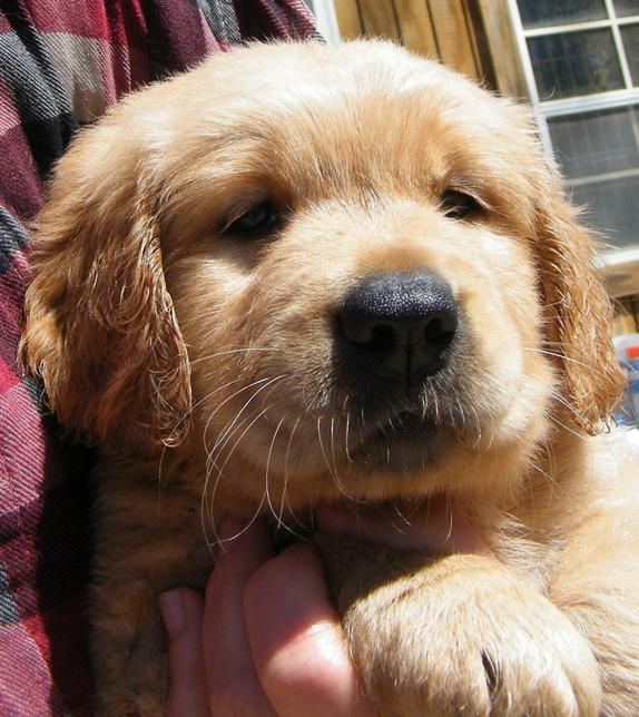 Barbsgoldens Akc Golden Retriever Puppies For Sale Georgia With