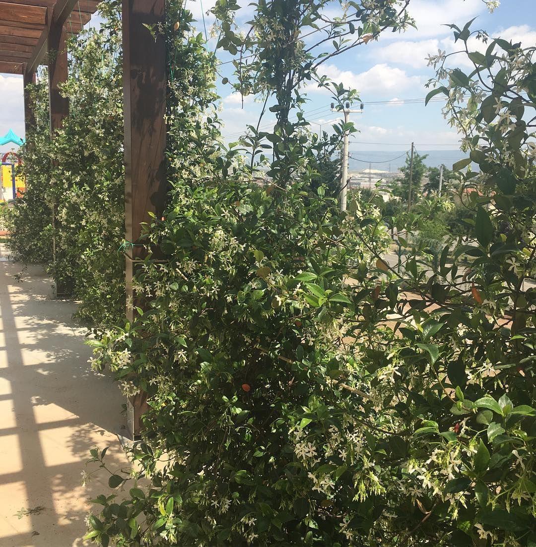 #miskokulu#yaseminler#peyzaj#bahçe#bitki#ağaç#çiçek#picoftheday#garden#flower#nature#outdoor#arts#like#denizli#@dagdelen_peyzaj_proje http://turkrazzi.com/ipost/1515128731290412184/?code=BUG0Y25jaSY