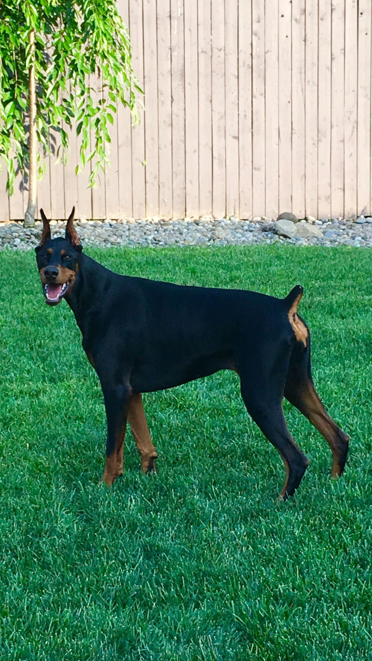 Pretty Sophie Girl Doberman Dogs Doberman Doberman Pinscher