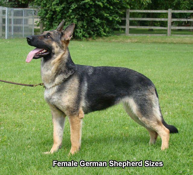 Female German Shepherds Female German Shepherd German Shepherd Photos German Shepherd Facts