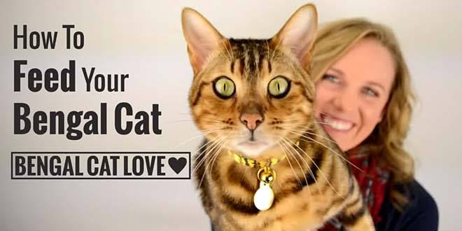 How To Feed Your Bengal Cat A Healthy Diet Bengal Cat Personality Cat Personalities Bengal Cat