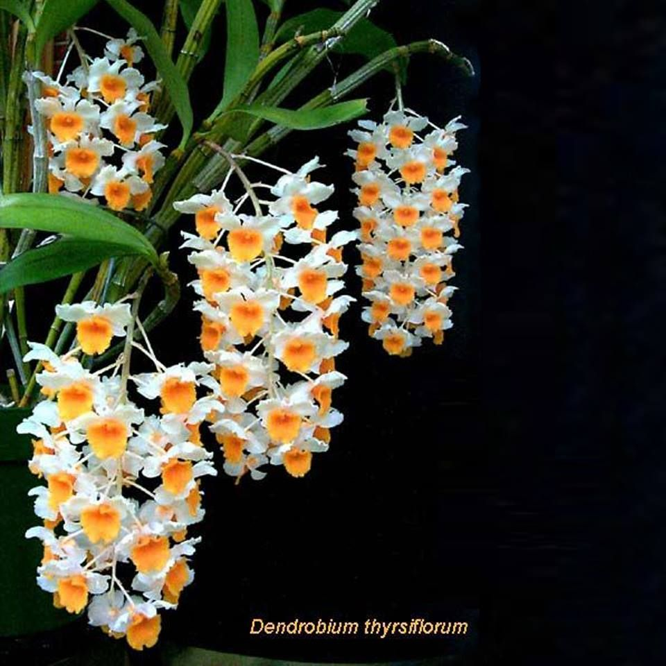 Dendrobiums