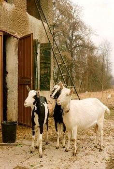 Pin by Robert Howard on Boer Goats and Others | Goats, Billy