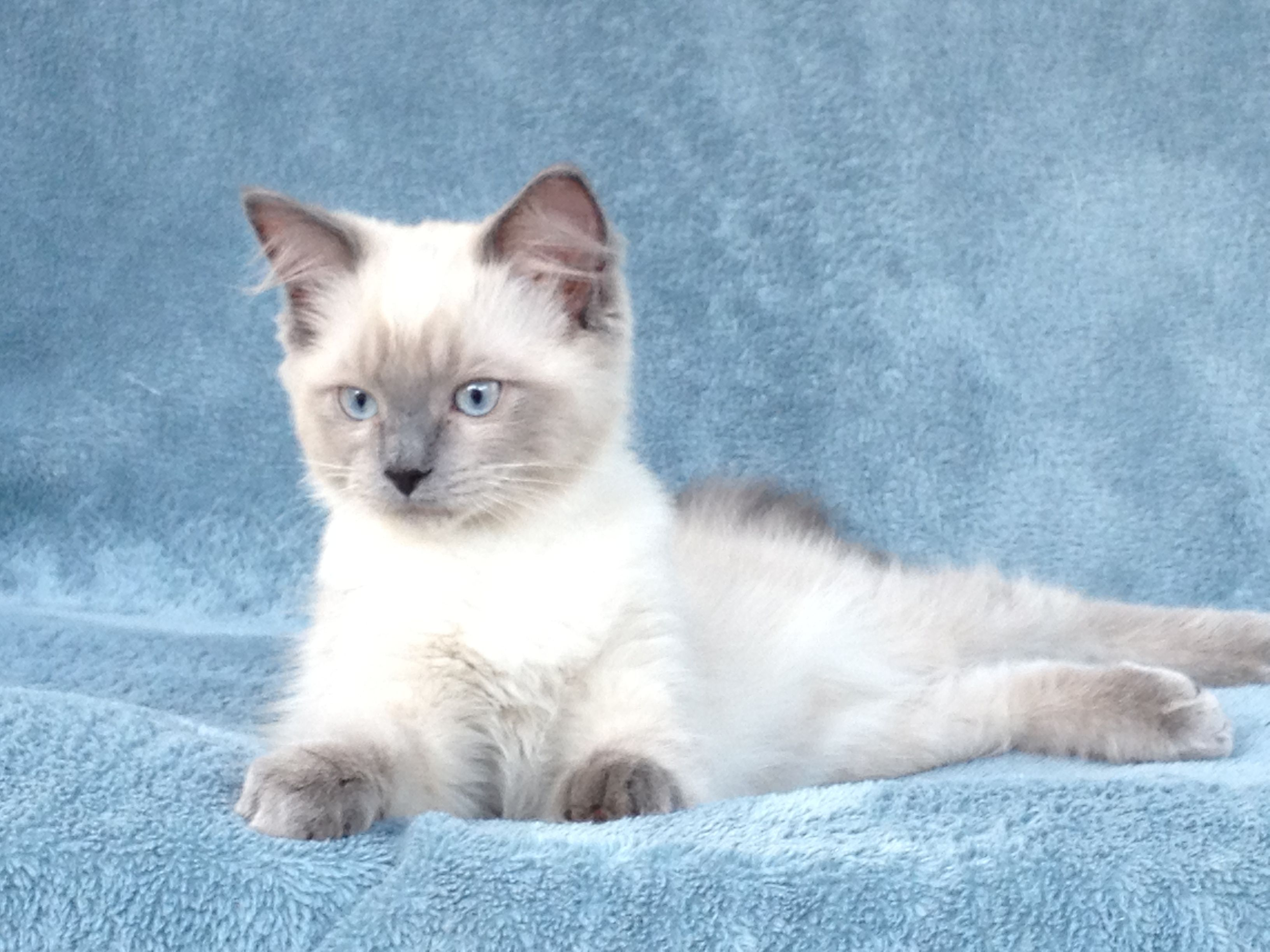кошка рэгдолл голубая фото этом