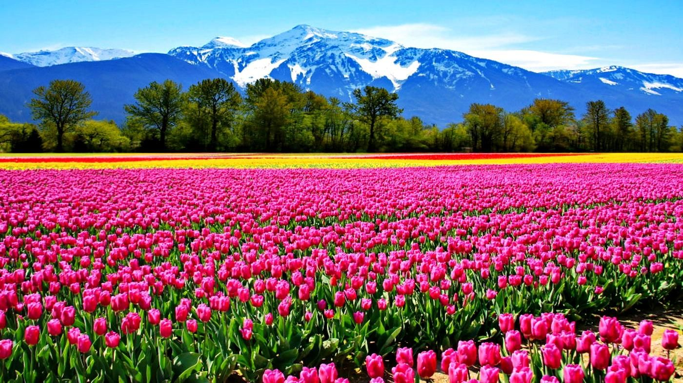Beautiful Flowers Fields Wallpapers HD Pictures Live HD