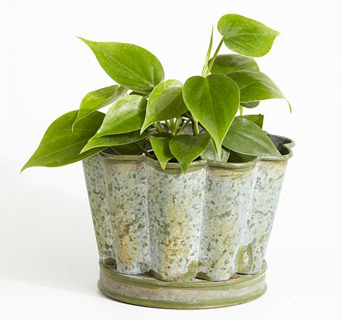 Philodendron meaning tree lover philodendron plants are for Indoor gardening meaning