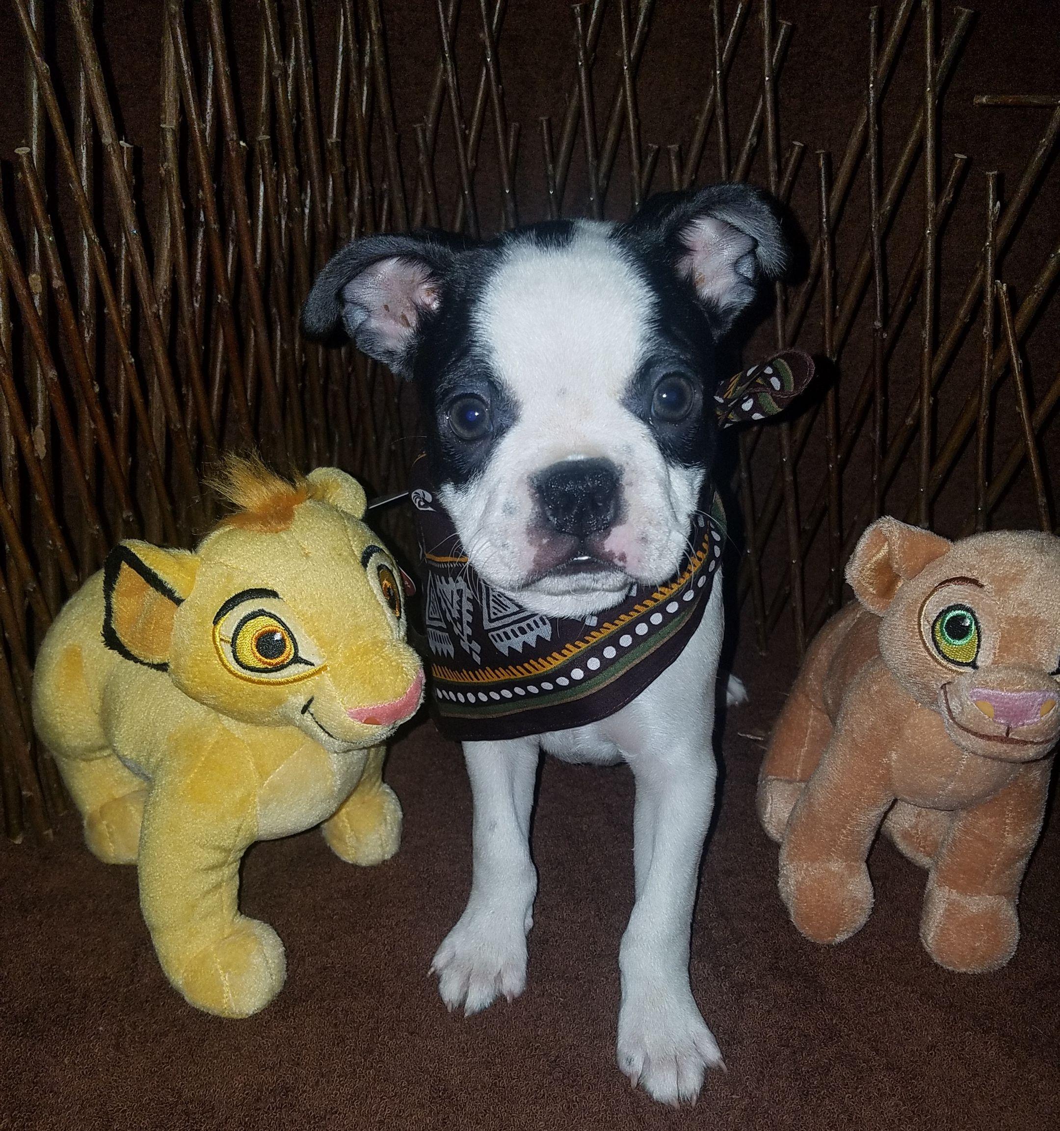 Breed boston terrier gender male registry akc