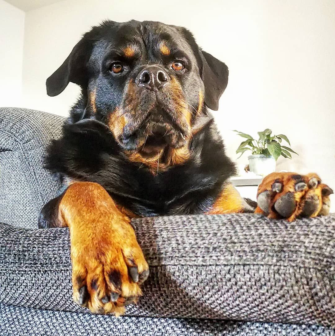 How To Train A Dog To Stop Biting Id Like A Beer And A Tennis Ball Please Dogatthebar Barisopen Dutch Rottweiler Funny Dogs Funny Dogs Dog Memes