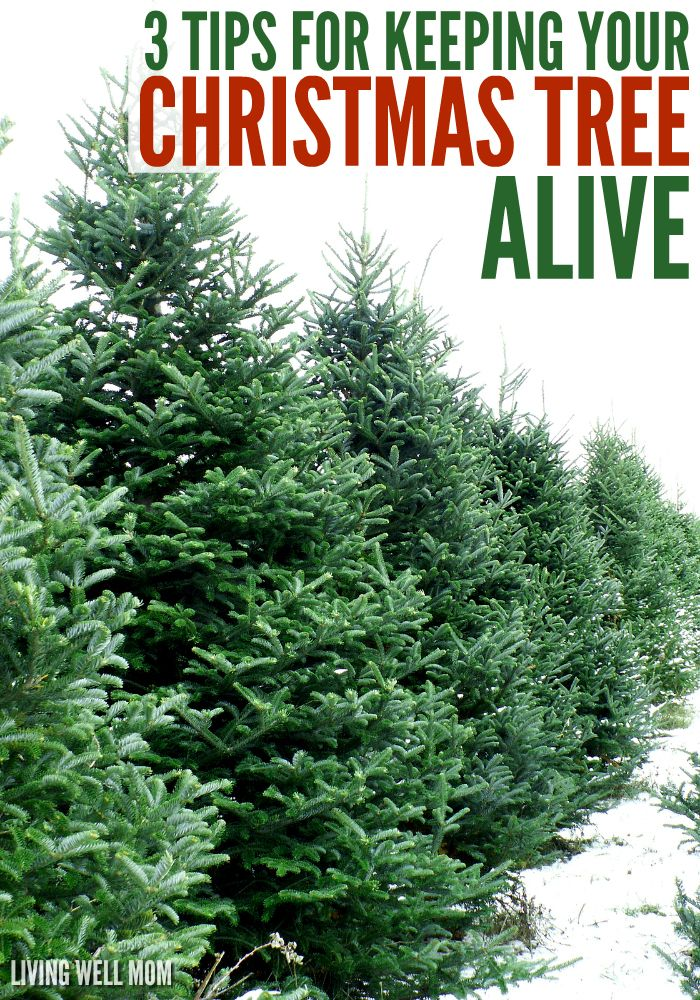 3 Tips For Keeping Your Christmas Tree Alive Longer Love The Scent Of Live But Tired Dry Needles Everywhere Here S Three Simple