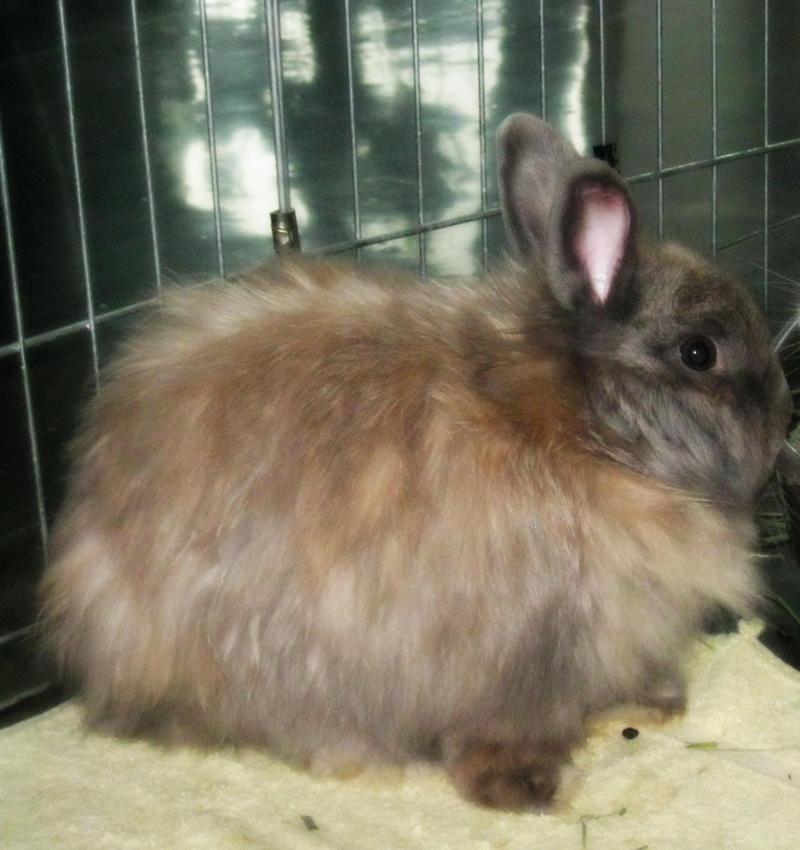 Adopt Latte On Petfinder Special Girl Adoption Rabbit