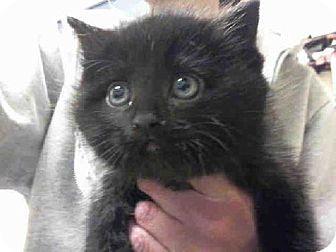 Pittsburgh Pa Domestic Mediumhair Meet Mandi A Kitten For Adoption Kitten Adoption Pets Animals