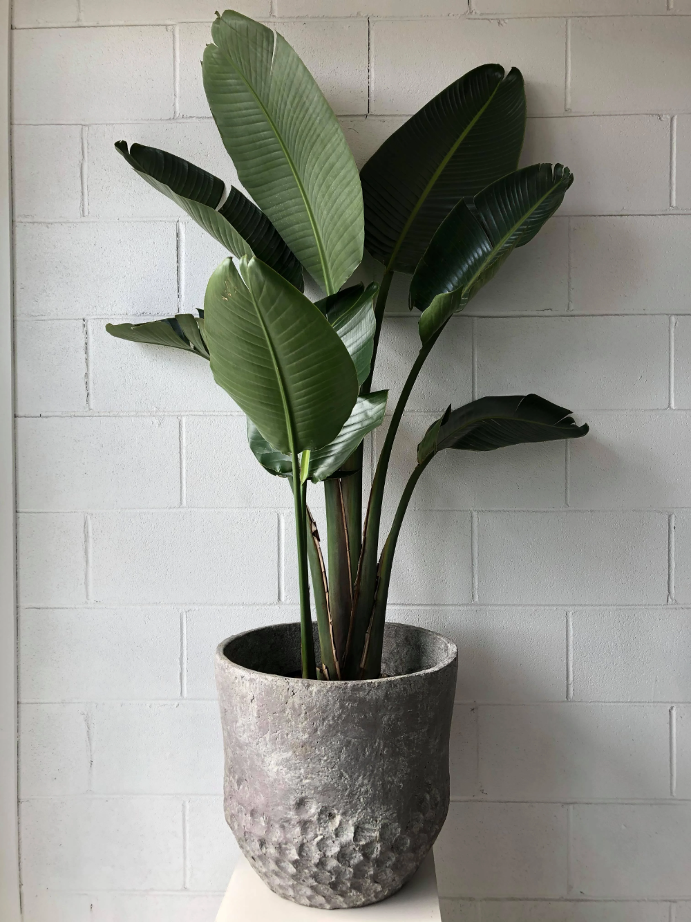 Strelitzia Nicolai Plants Pot