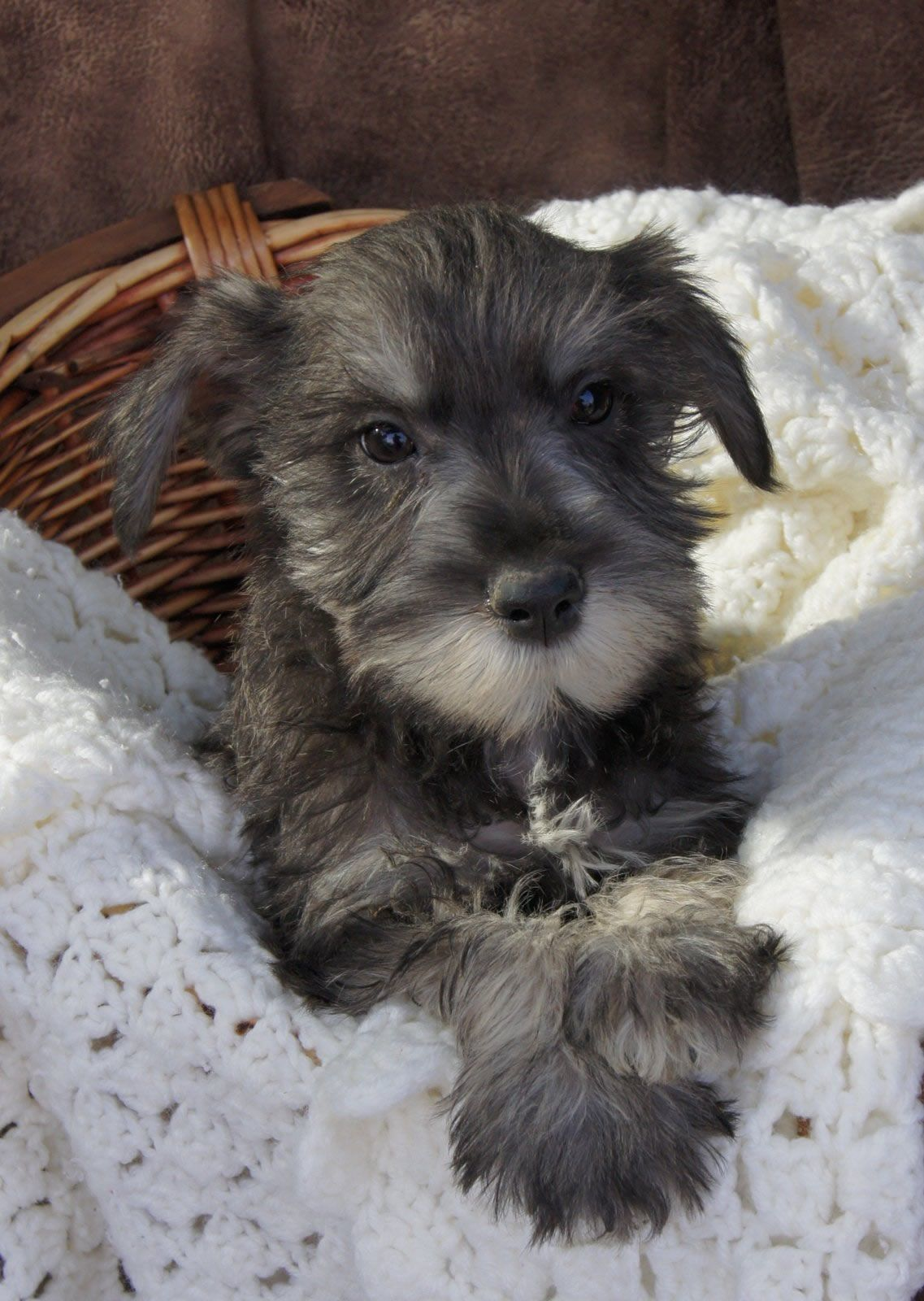 Miniature Schnauzer Smart and Obedient Miniature