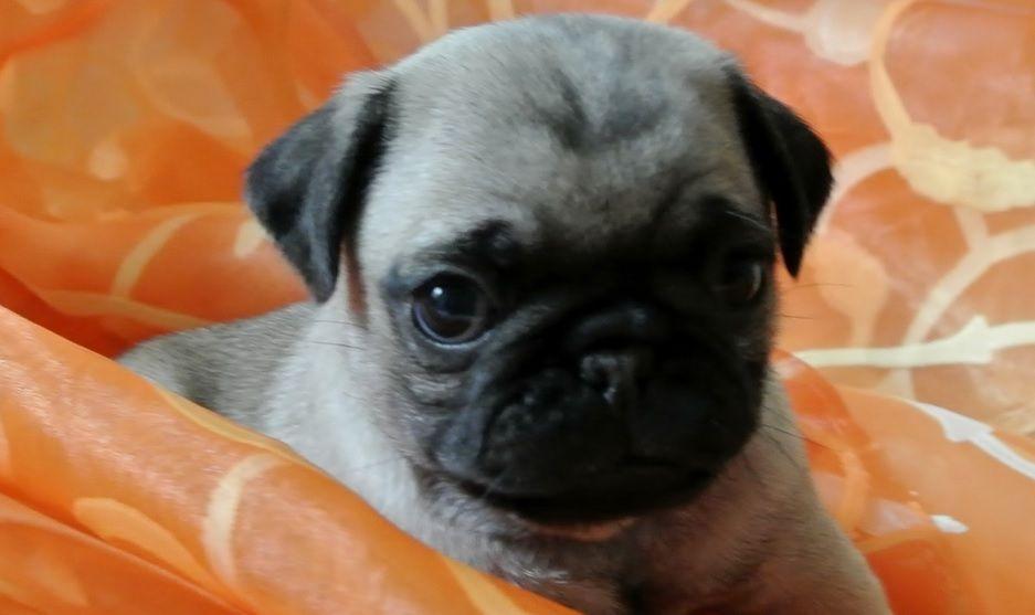 Pug Wallpaper, Screensaver, Background Cute Pug Puppy