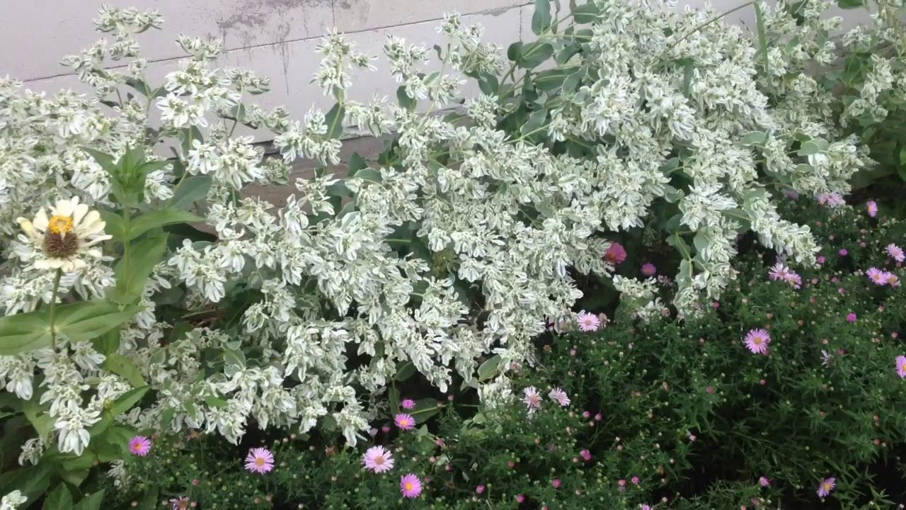 Euphorbia Marginata With Some Other Flower Gardening Garden Diy