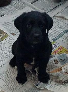 Litter Of 8 Sheprador Puppies For Sale In Boscawen Nh Adn 27614 On