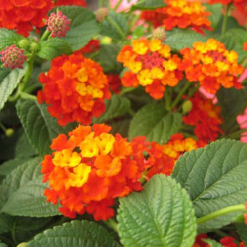 Luscious citrus blend lantana this has to be my most favorite luscious citrus blend lantana this has to be my most favorite flower beautiful all summer drought tolerant perennial just an awesome flower mightylinksfo
