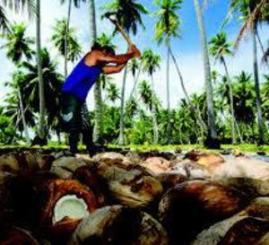 La noix de coco, principal revenu dans les atolls polynésiens