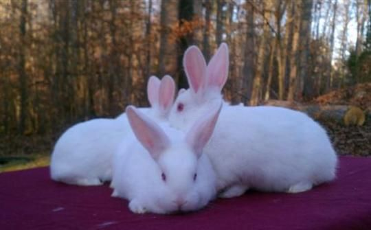 Website Disabled New Zealand Rabbits Rabbits For Sale Meat Rabbits