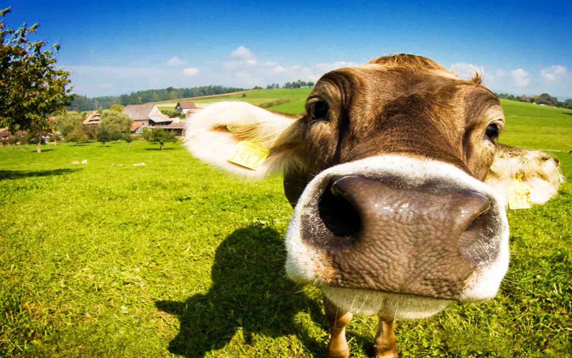 Cow Closeup Face Funny Picture Cows Funny Cow Wallpaper Funny Cow Pictures