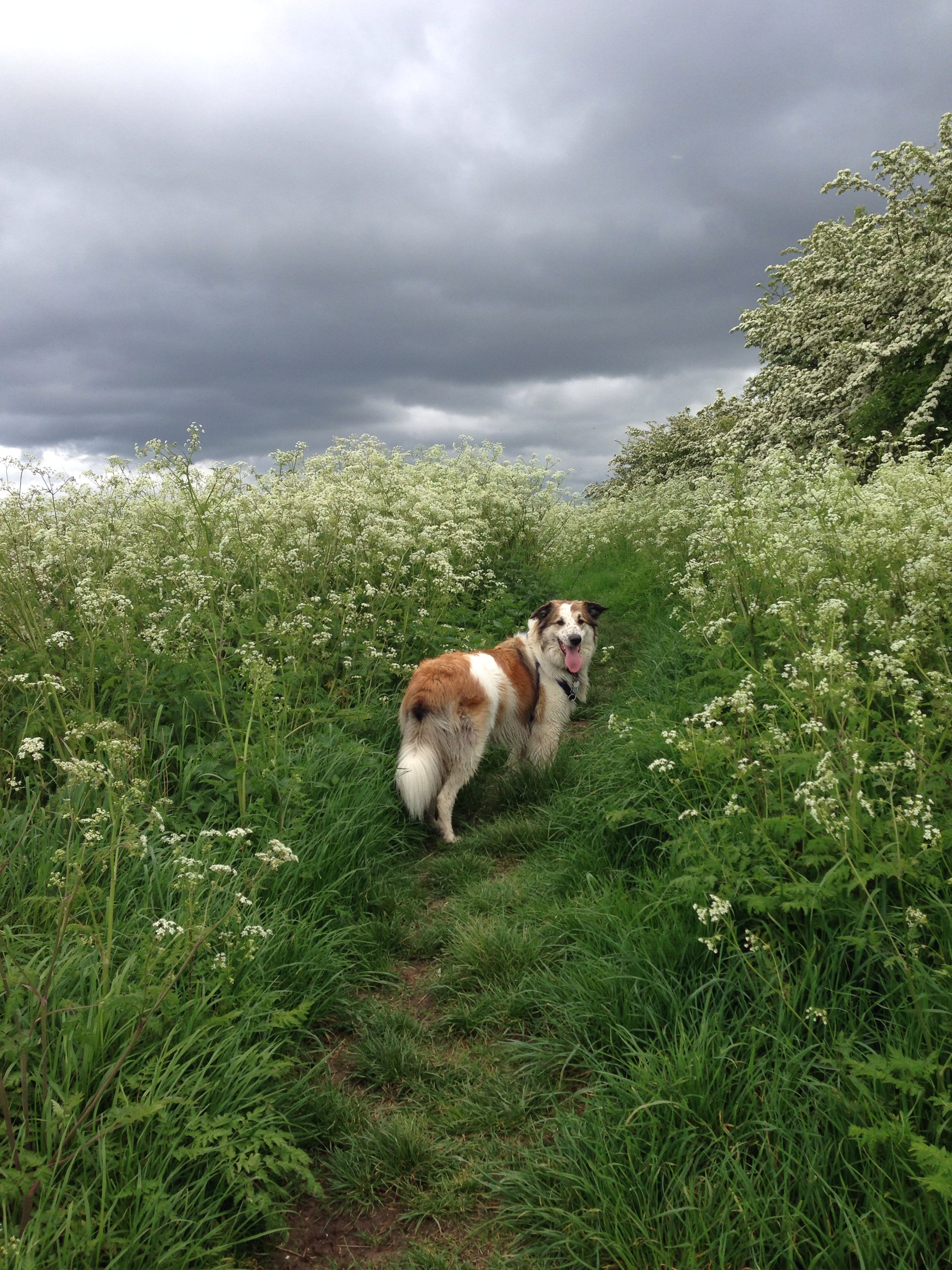 Brecon on the Common - a rainy day among the cow parsley...