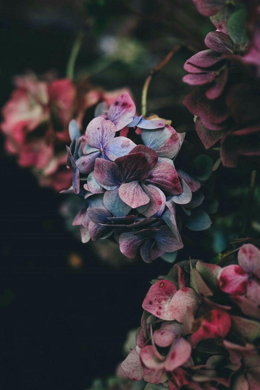Обои гортензия, цветы, комната. Цветы foto 9