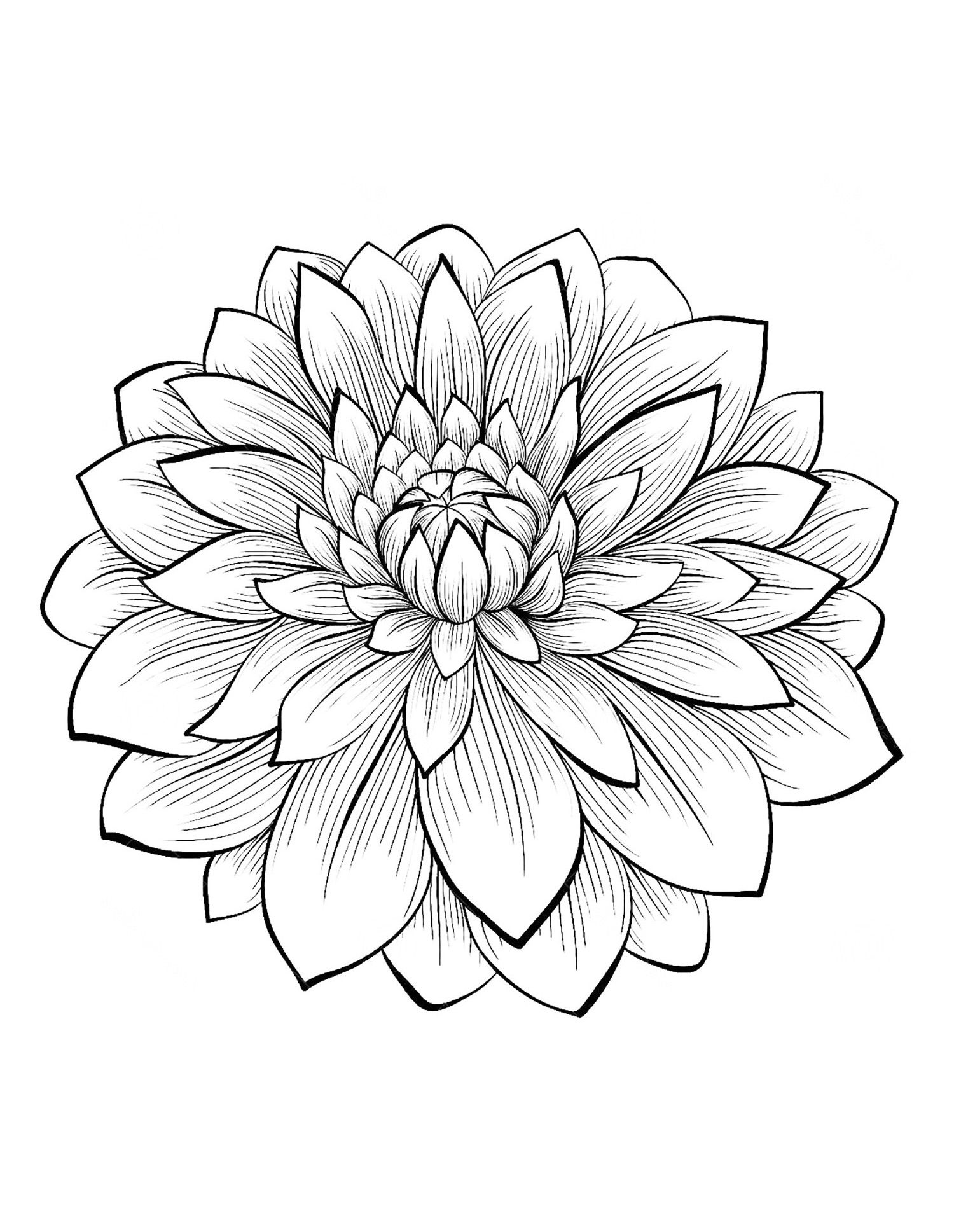 Dahlia Flower Flowers Vegetation Coloring Pages For Adults