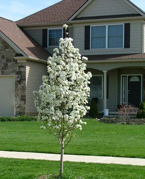 Jack Pear Small Ornamental Pear Kim Smithtree Com Cold Climate Gardening Backyard Plants Modern Landscaping